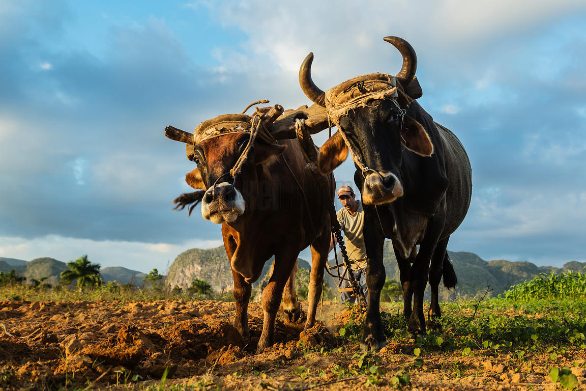 Farm Worker Plowing Field with a Team of Oxen