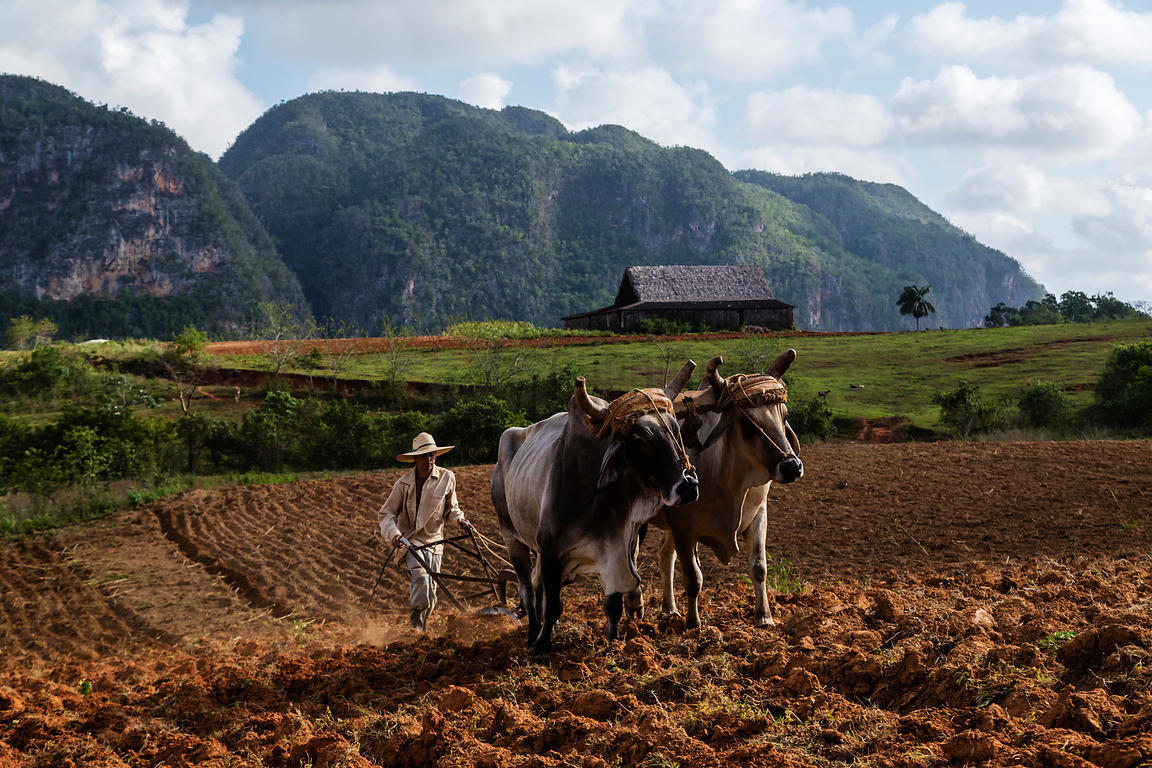 Farmer Ploughing Field with Oxen